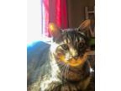 Adopt Westin a Domestic Short Hair, Tabby