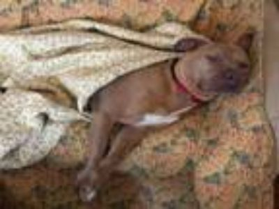 Adopt MARLEE a American Staffordshire Terrier