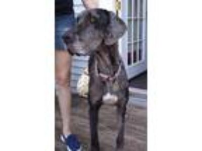 Adopt Bella $300 a Great Dane / Mixed dog in Milwaukee, WI (25588025)