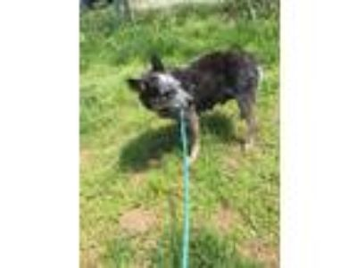 Adopt Wilma a Cattle Dog