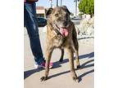 Adopt Eddy a Black American Staffordshire Terrier / Mixed dog in Palm Springs