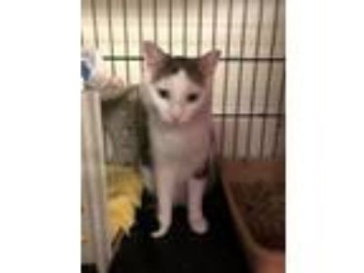 Adopt Gnoochi a Domestic Short Hair