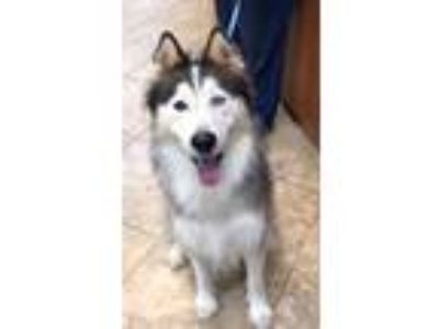 Adopt Eros a White - with Black Siberian Husky / Mixed dog in Alpharetta