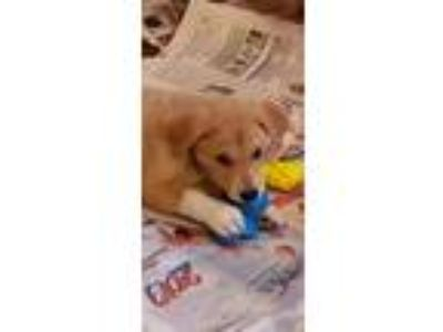 Adopt Ariana Beck! PUPPY a Golden Retriever
