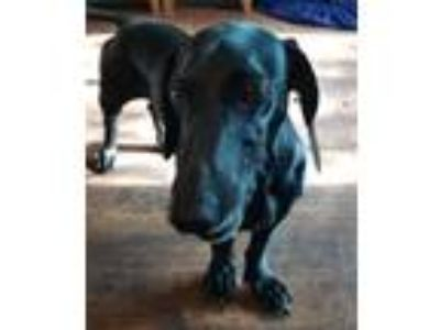 Adopt Tempy a Black Dachshund / German Shorthaired Pointer / Mixed dog in