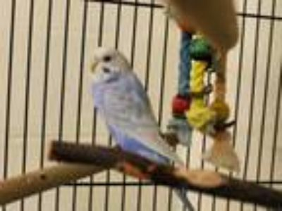 Adopt SHELIA a Parakeet (Other)