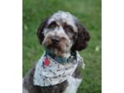 Adopt Dunkin a Tricolor (Tan/Brown & Black & White) Labradoodle / Mixed dog in