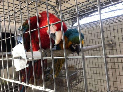 Sweeting Blue and Gold and Greenwing Macaws And Talking ready anytime for their new homw