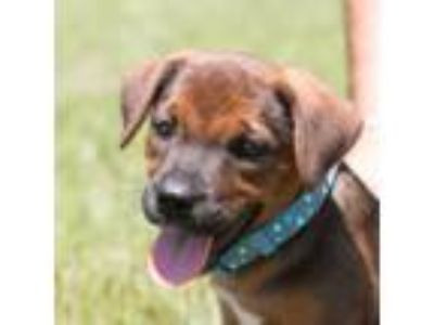 Adopt PUPPY PEANUT a Labrador Retriever / Hound (Unknown Type) / Mixed dog in