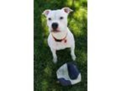 Adopt Mak a American Staffordshire Terrier / Mixed dog in Canon City