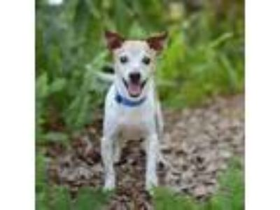Adopt Taz a White - with Tan, Yellow or Fawn Jack Russell Terrier dog in