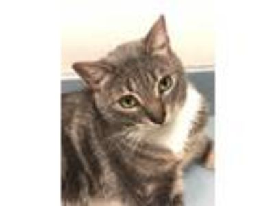 Adopt Nomar a Gray, Blue or Silver Tabby American Shorthair (short coat) cat in