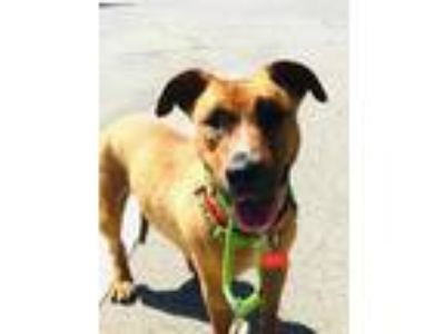 Adopt Hayley a Tan/Yellow/Fawn Dachshund / Shar Pei / Mixed dog in Lake Forest