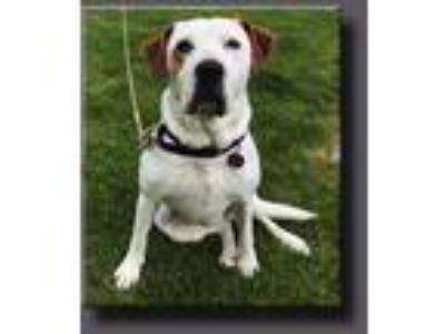 Adopt Holly *LOCAL* a White - with Brown or Chocolate Hound (Unknown Type) /