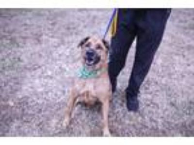 Adopt Irene (FOSTERED) a Tan/Yellow/Fawn - with Black Shepherd (Unknown Type) /