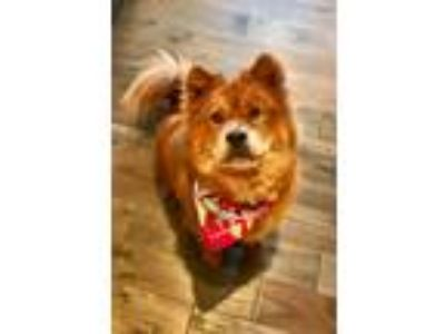 Adopt City Girl a Red/Golden/Orange/Chestnut Chow Chow / Mixed dog in Houston