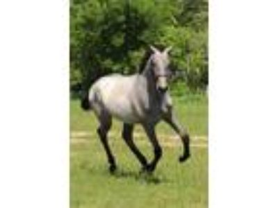 25 Off Holiday Sale 2018 PRE Andalusian Filly with Champion Imported Line