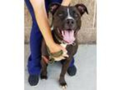 Adopt Baxter a Black - with White American Staffordshire Terrier / Mixed dog in
