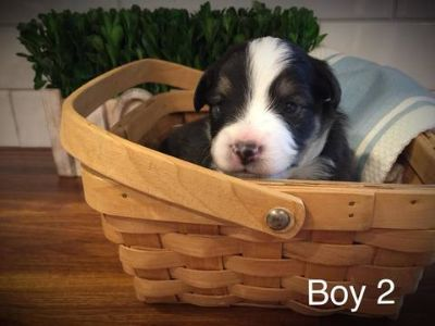 Australian Shepherd PUPPY FOR SALE ADN-80522 - Toy Mini Austrailian Shepherd