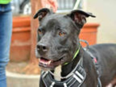 Adopt a Black American Pit Bull Terrier / Mixed dog in Pasadena, CA (25600237)