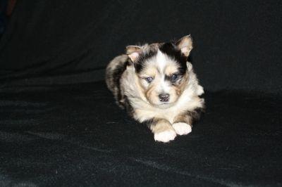 Pomsky PUPPY FOR SALE ADN-62399 - Pomsky Puppies