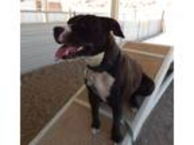 Adopt Raider a Black - with White Pit Bull Terrier / Mixed dog in Mesquite