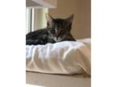 Adopt Sabrina NOrevolution a Brown or Chocolate Domestic Shorthair / Domestic
