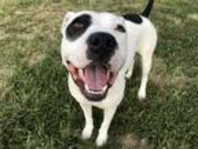 Adopt Rocket a American Pit Bull Terrier / Mixed dog in Richmond, VA (25917645)