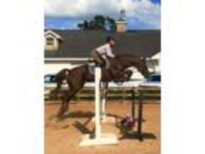 Proven Thoroughbred Show Jumper