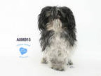 Adopt DEXTER a Black - with White Shih Tzu / Mixed dog in Corona, CA (25272359)