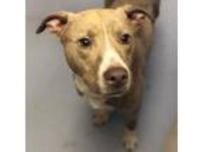 Adopt Rolo a Brown/Chocolate American Pit Bull Terrier dog in Appomattox