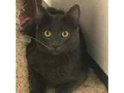 Adopt Turkey a Domestic Short Hair