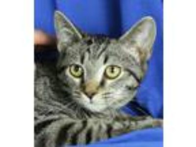 Adopt Ambrose a Domestic Short Hair, Tabby