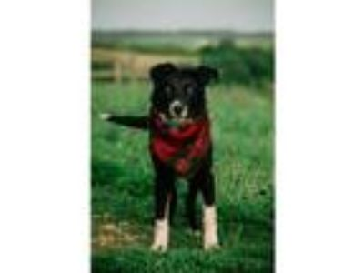 Adopt Jake a Border Collie