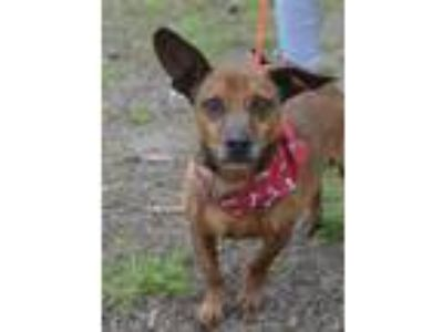 Adopt Scooter a Dachshund, Rat Terrier
