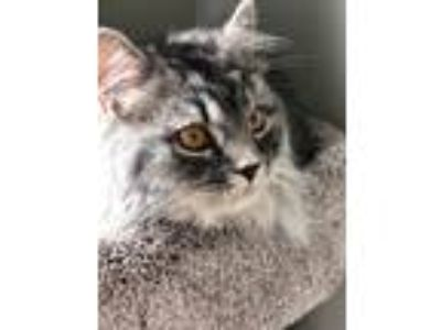 Adopt Luno a Gray, Blue or Silver Tabby Siberian cat in Herriman, UT (25329128)