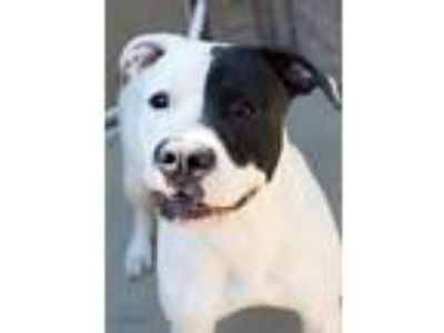 Adopt Pancake a Pit Bull Terrier, Mixed Breed