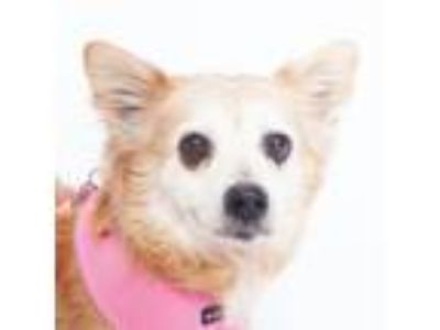 Adopt Dolores a Tan/Yellow/Fawn Terrier (Unknown Type, Small) / Pomeranian /