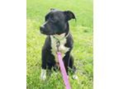 Adopt Sansa a Black - with White American Pit Bull Terrier / Mixed Breed
