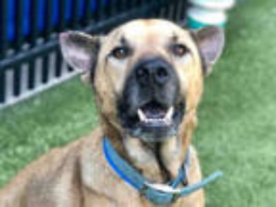 Adopt BUDDY a Brown/Chocolate - with Black German Shepherd Dog / Mixed dog in