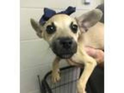 Adopt 42195770 a Tan/Yellow/Fawn Jack Russell Terrier / Mixed dog in Cleveland