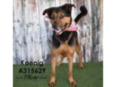 Adopt KOENIG a Black - with Brown, Red, Golden, Orange or Chestnut Rottweiler /