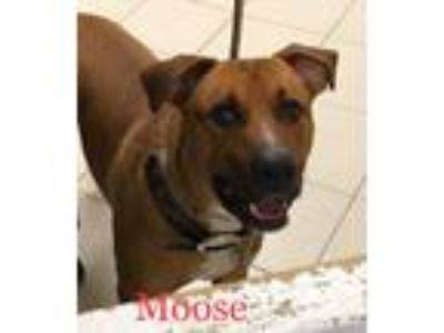 Adopt Moose a Tan/Yellow/Fawn Hound (Unknown Type) / Mixed dog in Middletown