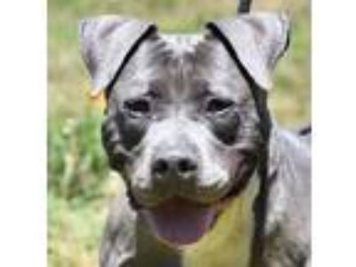 Adopt TROOPER a Gray/Silver/Salt & Pepper - with White American Pit Bull Terrier