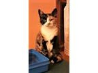 Adopt Scarlett a Calico or Dilute Calico Domestic Shorthair (short coat) cat in