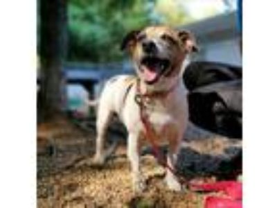 Adopt Luna a Jack Russell Terrier / Mixed dog in Charlottesville, VA (25877341)