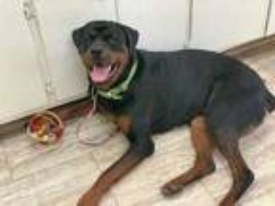 Adopt Geronimo a Black Rottweiler / Mixed dog in Orleans, VT (25295795)