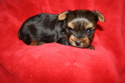 Yorkshire Terrier PUPPY FOR SALE ADN-89328 - Yorkie Puppies