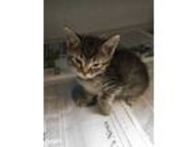 Adopt Daphne a Gray or Blue Domestic Shorthair / Domestic Shorthair / Mixed cat