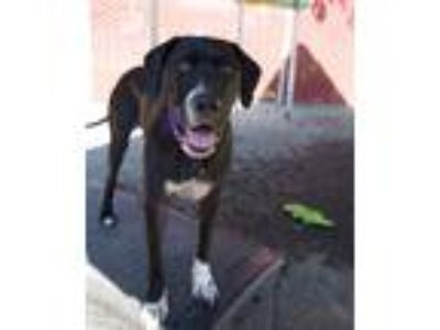 Adopt Pineapple a Great Dane / Mixed dog in Troutdale, OR (25911768)